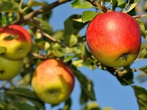 Apfelbaum zum Apfelfest in den Winsener Luhegärten (c) Dr. Klaus-Uwe Gerhardt, pixelio.de
