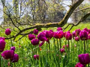 Tulpen zum Tulpenfest in den Winsener Luhegärten (c) Rainer Sturm, pixelio.de